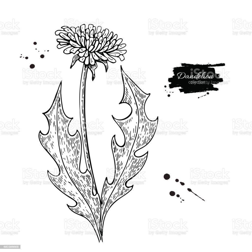 Maskros blomma vektorritning set. Isolerade vilda växter och blad. royaltyfri maskros blomma vektorritning set isolerade vilda växter och blad-vektorgrafik och fler bilder på affisch