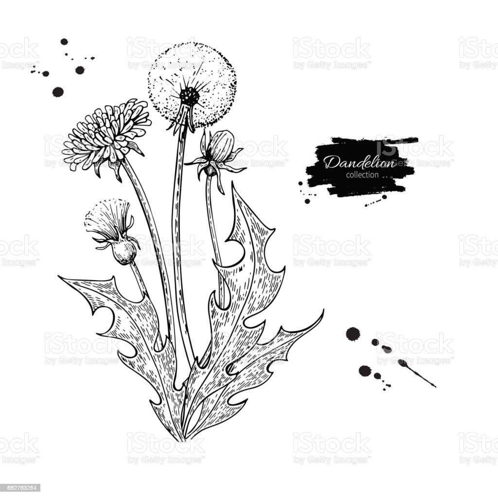 Dandelion flower vector drawing set isolated wild plant - Dessin pissenlit ...