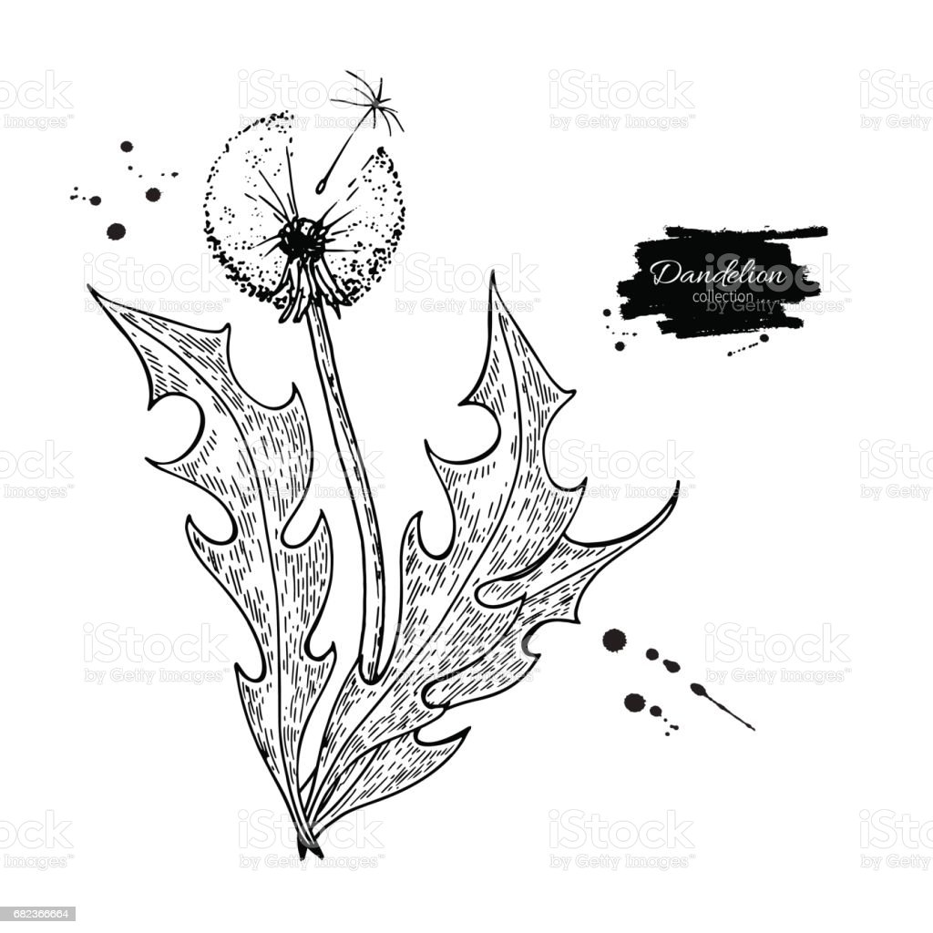 Maskros blomma vektorritning set. Isolerade vilda växter, frön och blad. royaltyfri maskros blomma vektorritning set isolerade vilda växter frön och blad-vektorgrafik och fler bilder på affisch