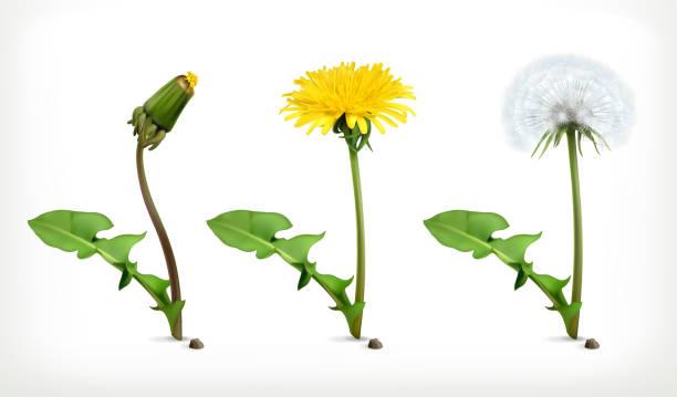 illustrations, cliparts, dessins animés et icônes de pissenlits fleurs, vector icon set - plante sauvage