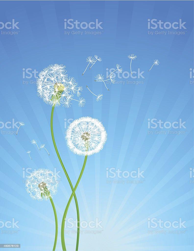 Dandelion flowers royalty-free stock vector art
