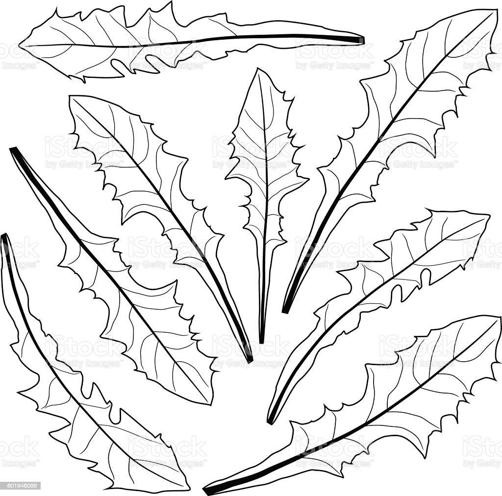 dandelion leaves in black and white stock illustration