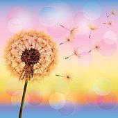 Flower dandelion on background of sunset, vector illustration. Place for text