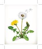 Dandelion, summer flowers, blowing, botanical vector illustration isolated on white background