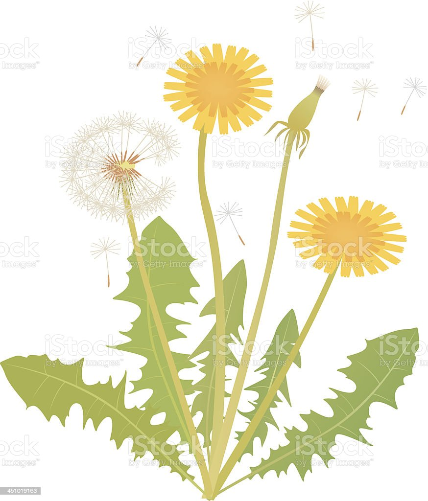 Dandelion royalty-free dandelion stock vector art & more images of alternative medicine