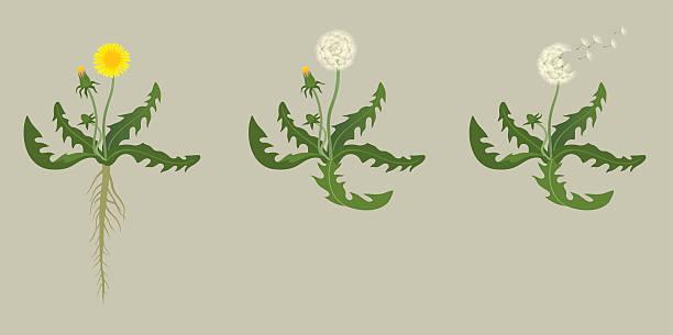 illustrations, cliparts, dessins animés et icônes de fleur de pissenlit - plante sauvage