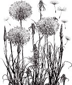 Engraving illustration of dandelion seeds flying on the breeze.