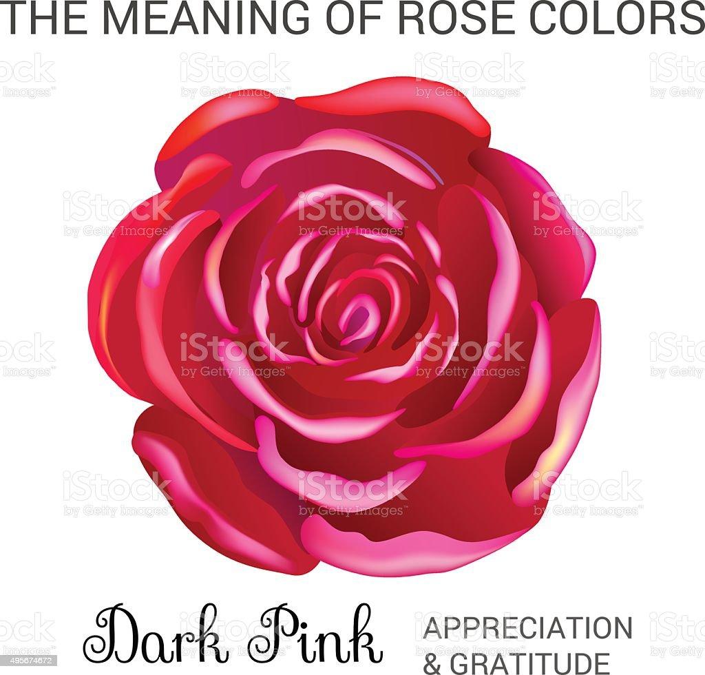 Dark pink rose vector art illustration