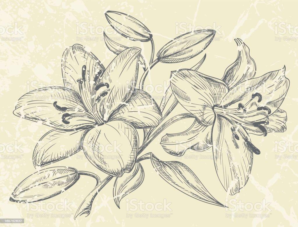 Tag Lilien Zeichnung Stock Vektor Art Und Mehr Bilder Von