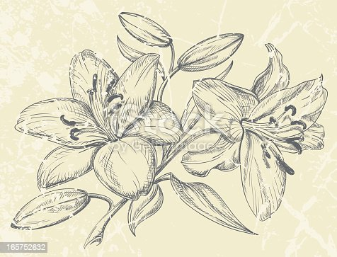 Hand drawn vector illustration of day lilies.