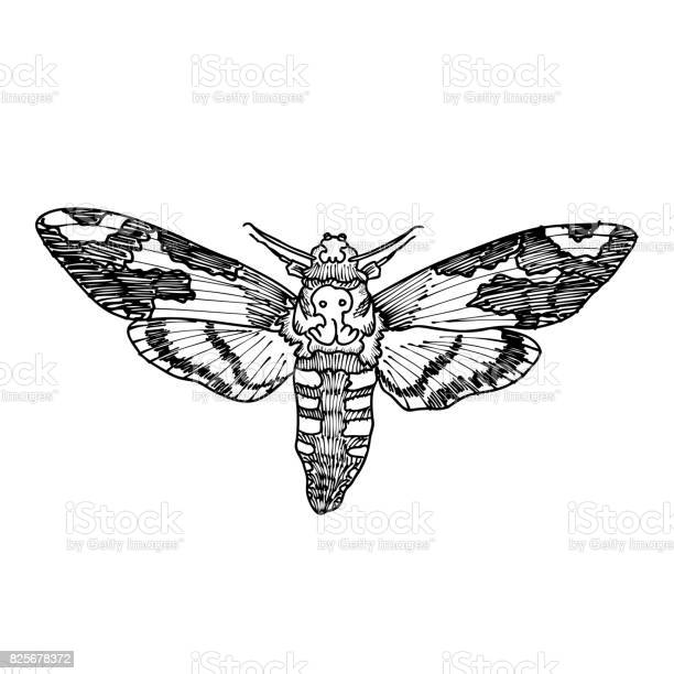 Deaths head hawk moth hand drawing of hawkmoth trendy vintage element vector id825678372?b=1&k=6&m=825678372&s=612x612&h=gohsxivgp7n9ksj2d366sptjtag6h0r4ztkrdfthpxe=