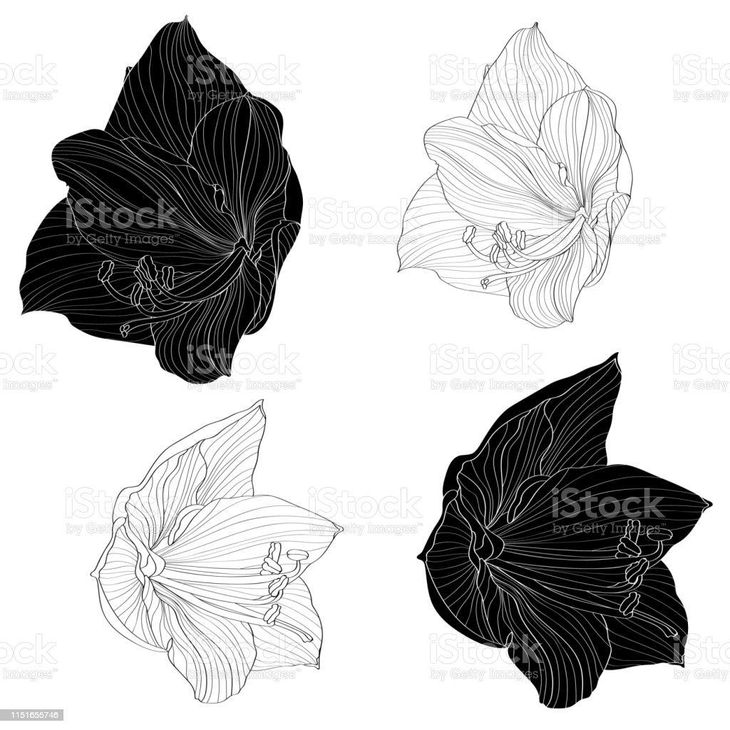 Decorative amaryllis lilies line black and white flowers set, design...