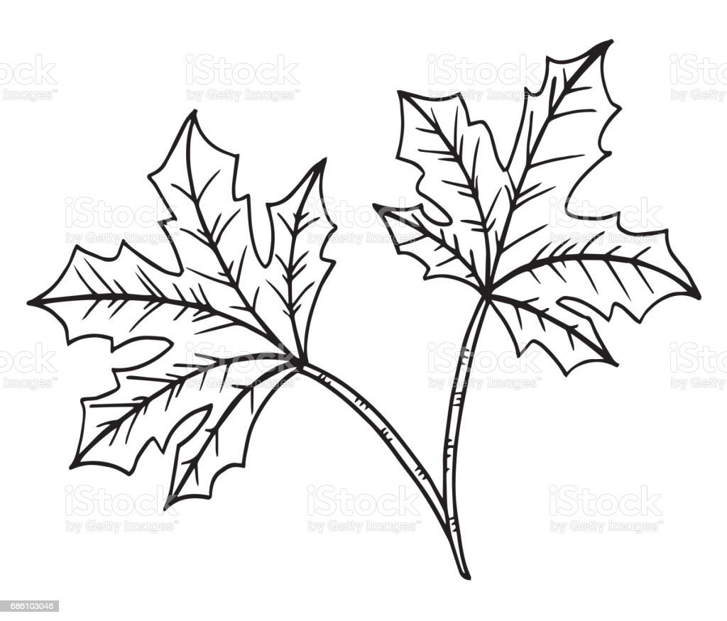 decorative black and white leaf of the tree maple illustration