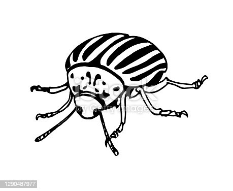 istock decorative colorado potato beetle, agricultural pest insect, chrysomelidae 1290487977