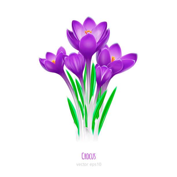illustrations, cliparts, dessins animés et icônes de crocus décoratives sur fond blanc. premières fleurs printanières - crocus
