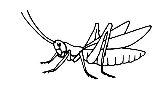 decorative grasshopper, invertebrate insect, voracious locust