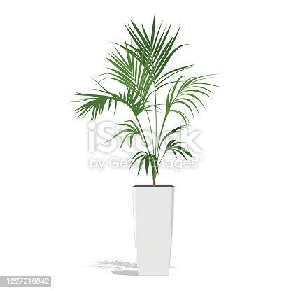 istock Decorative palm in a flower pot. Green Howea palm-tree in flowerpot isolated on white. 1227218842