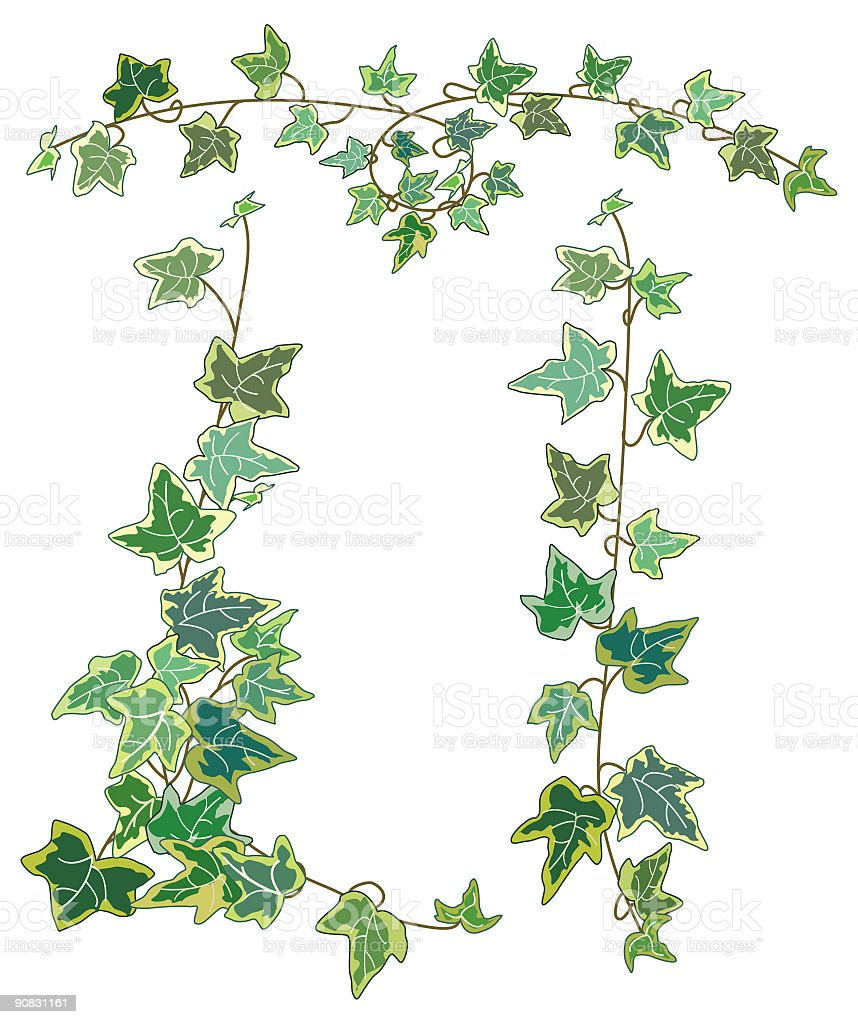 Decorative Variegated Ivy Vines with light and dark green leaves royalty-free stock vector art