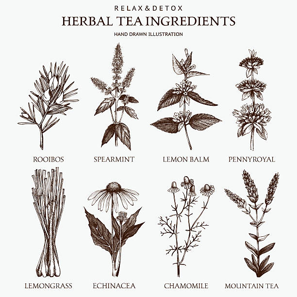 Decorative vector set of vintage herbs sketch Botanical collection of hand drawn herbal tea ingredients. chamomile plant stock illustrations
