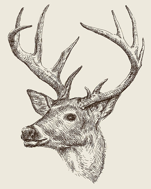 deer drawing - deer antlers stock illustrations, clip art, cartoons, & icons