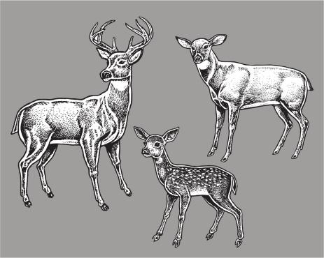 Deer Family - Wild Animals, Buck, Doe, Fawn
