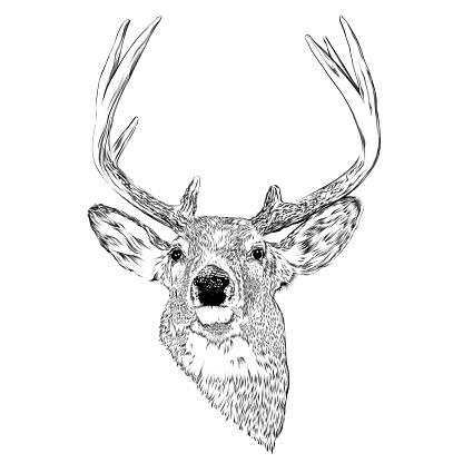Deer Head Ink Vector Illustration in Engraving Style
