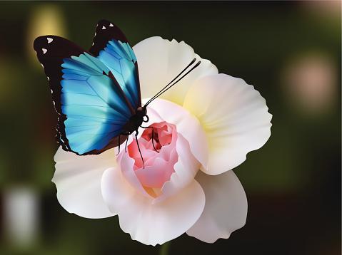 Deidamia Morpho  Butterfly - Vector