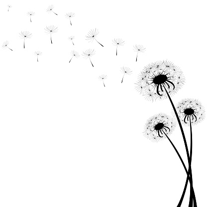 Delicate dandelions on a contrasting white background with flying fluffs. Unique images of dandelions in the lower right corner. Vector illustration. Stock Photo.