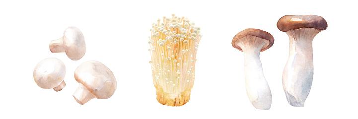 Delicious mushrooms. Watercolor illustration set of white mushrooms, enoki mushrooms and eryngii. (Trace vector)