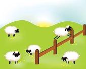 Delightful sheeps