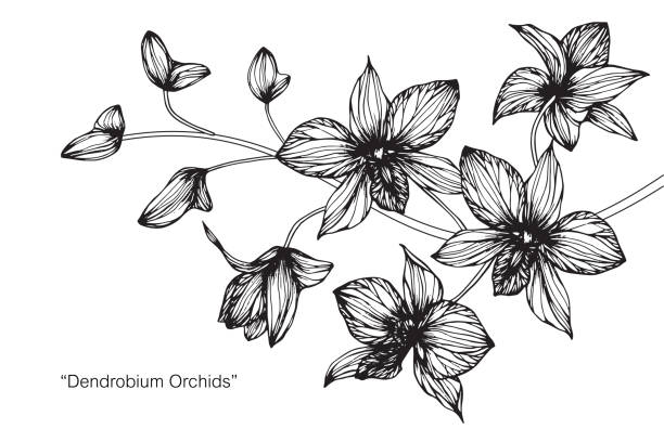 Dendrobium orchid flower drawing. Hand drawing and sketch Dendrobium orchid flower. Black and white with line art illustration. orchid stock illustrations