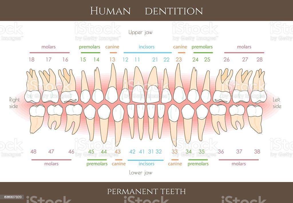 Dental numbering system infographic vector art illustration