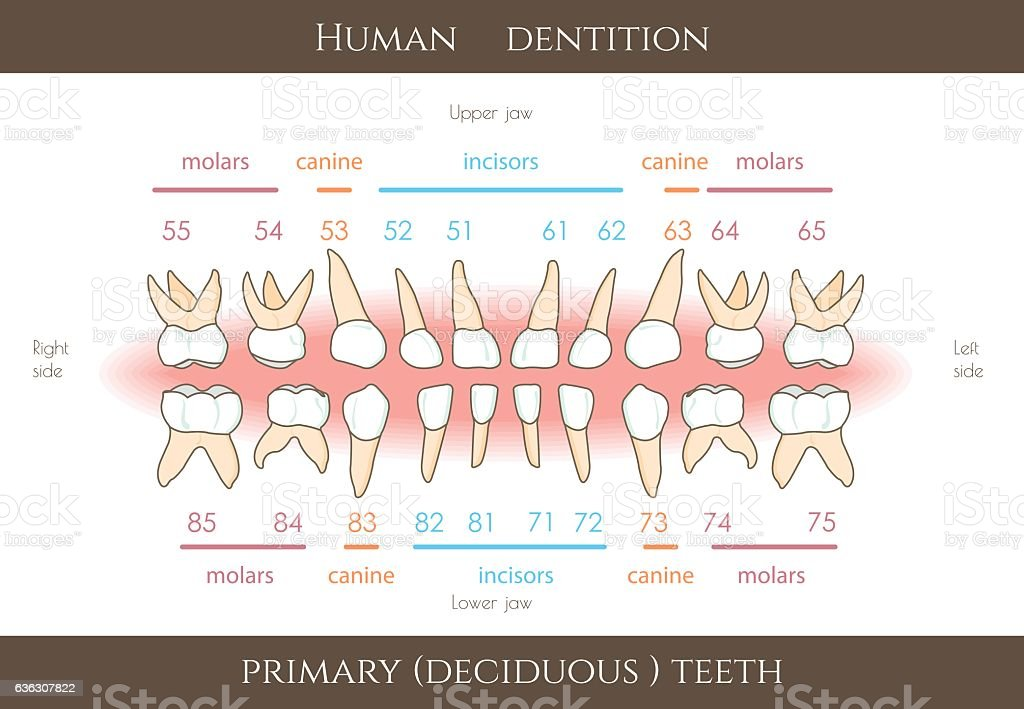 The Fdi Dental Numbering System For Childrens Teeth Tooth Numbering
