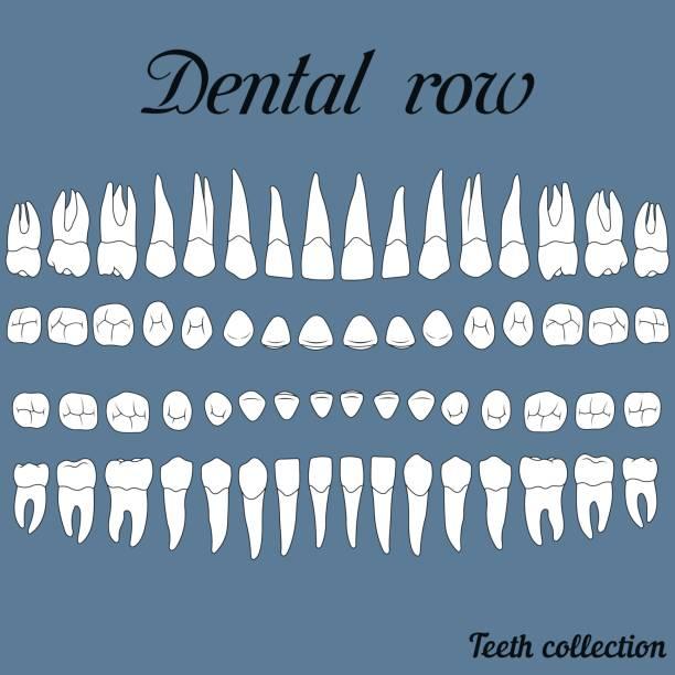 dental row teeth - animal skull stock illustrations