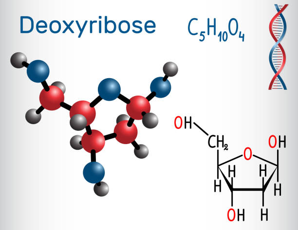 Deoxyribose molecule, it is a monosaccharide (deoxy sugar), it forms part of the backbone of DNA. Structural chemical formula and molecule model Deoxyribose molecule, it is a monosaccharide (deoxy sugar), it forms part of the backbone of DNA. Structural chemical formula and molecule model. Vector illustration carbohydrate biological molecule stock illustrations