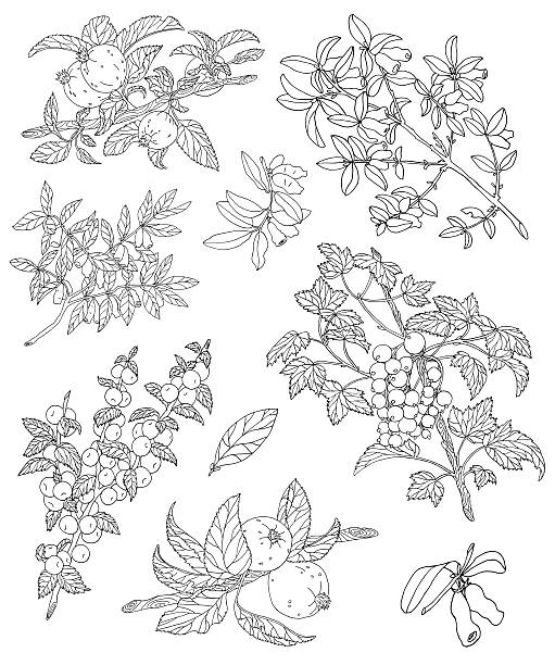 Design set with silhouettes of berries Design set with silhouettes of berries and leaves on branches, isolated on white, hand drawn illustration honeysuckle stock illustrations
