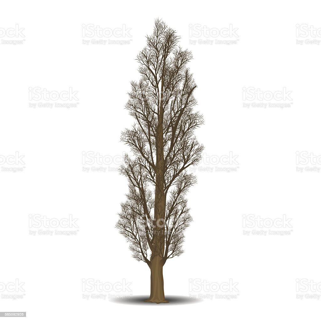 detached tree poplar without leaves vector art illustration