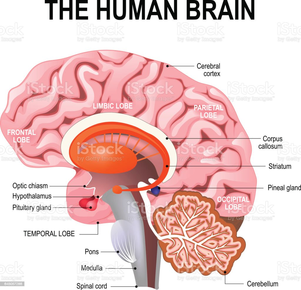 detailed anatomy of the human brain. vector art illustration