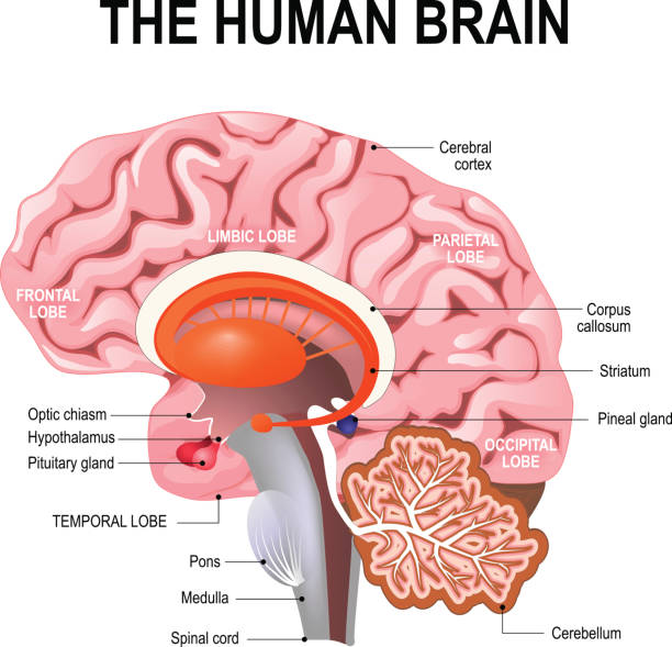 detailed anatomy of the human brain. detailed anatomy of the human brain. Illustration showing the medulla, pons, cerebellum, hypothalamus, thalamus, midbrain. Sagittal view of the brain. Isolated on a white background. brain stem stock illustrations