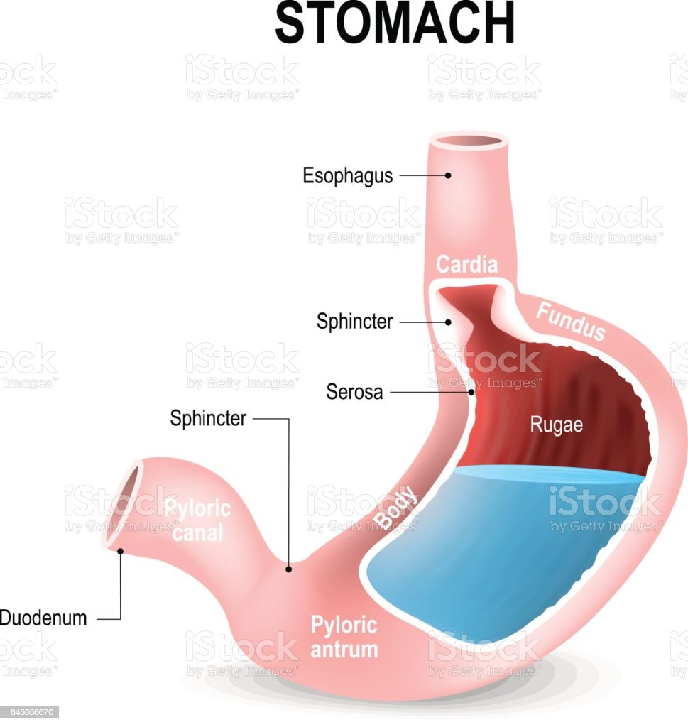 Detailed Diagram Of The Structure From Inside Of The Stomach Stock ...