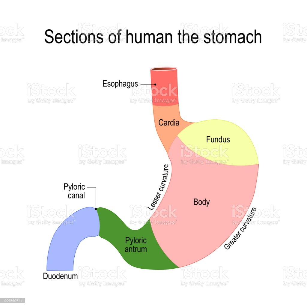 Inside Stomach Diagram Books Of Wiring Bmw Servotronic Royalty Free Serosa Clip Art Vector Images