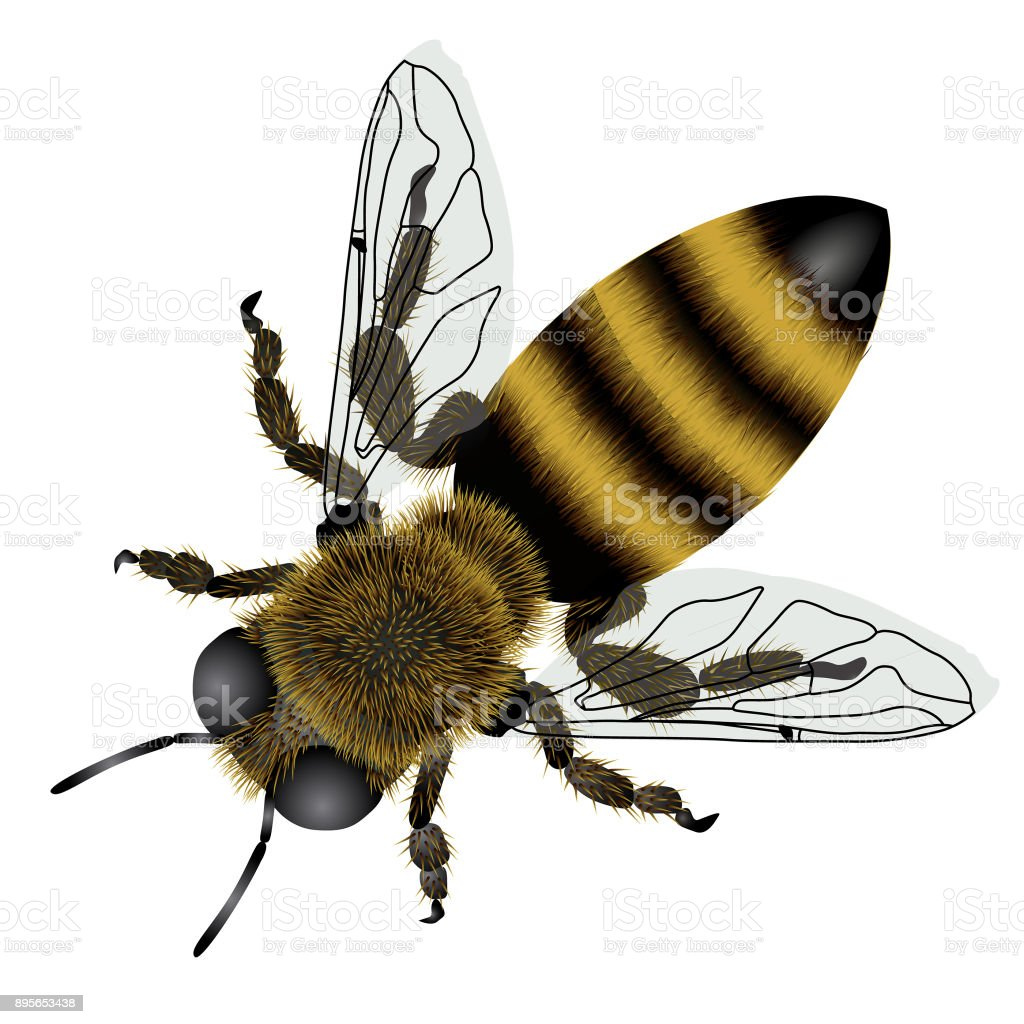 Detailed drawing of bee with transparent wings vector art illustration