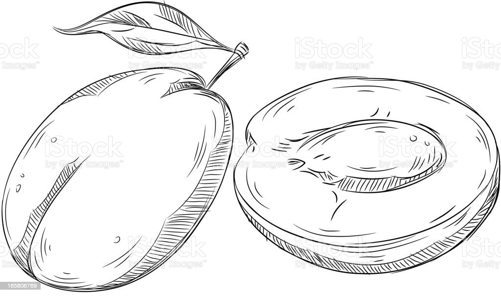 Detailed Drawings of Plum royalty-free stock vector art