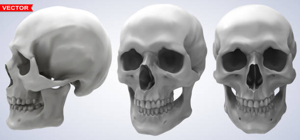 Detailed graphic photorealistic human skulls set Detailed graphic photorealistic black and white human skulls. On gray background. Vector icon set. Side and front view. human jaw bone stock illustrations