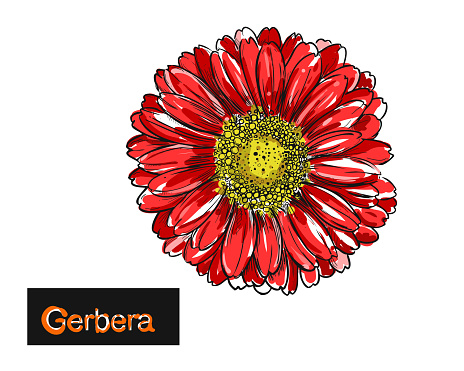 Detailed hand drawn color illustration of flowers gerbera. isolated sketch. Vector.