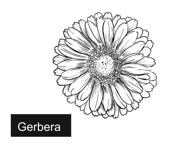 Flower Outline Clipart - Daisy Clipart Free Download - Png Download  (#725967) - PinClipart
