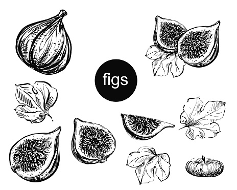 Detailed hand drawn ink black and white illustration set of figs, leaf, dried fig. sketch. Vector eps 8