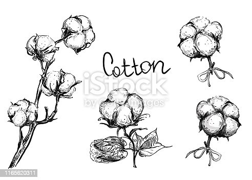 Detailed hand drawn ink black and white illustration set of cotton plant and flowers. sketch. Vector.