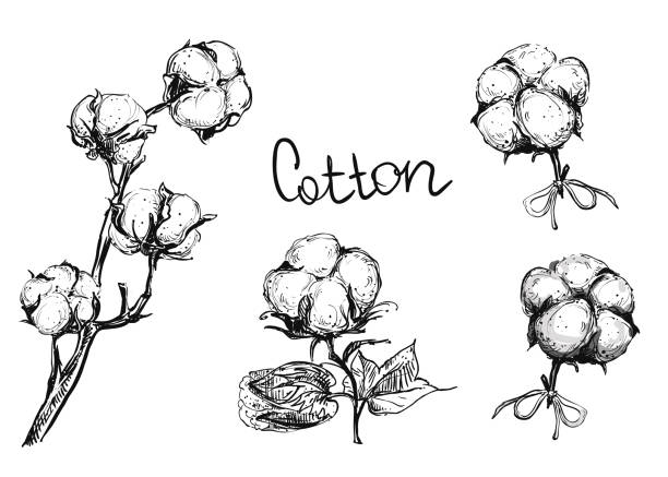 Detailed hand drawn ink black and white vector illustration set of cotton plant and flowers. sketch. Detailed hand drawn ink black and white illustration set of cotton plant and flowers. sketch. Vector. cotton stock illustrations