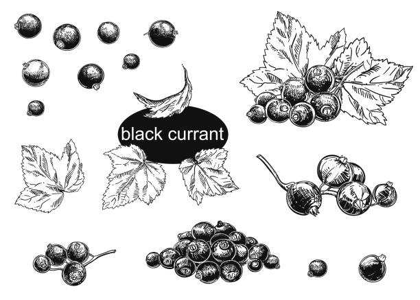 Detailed hand drawn vector illustration set of blackcurrant. Black and white sketch of isolated currant. Detailed hand drawn vector illustration set of blackcurrant. Black and white sketch of isolated currant. black currant stock illustrations